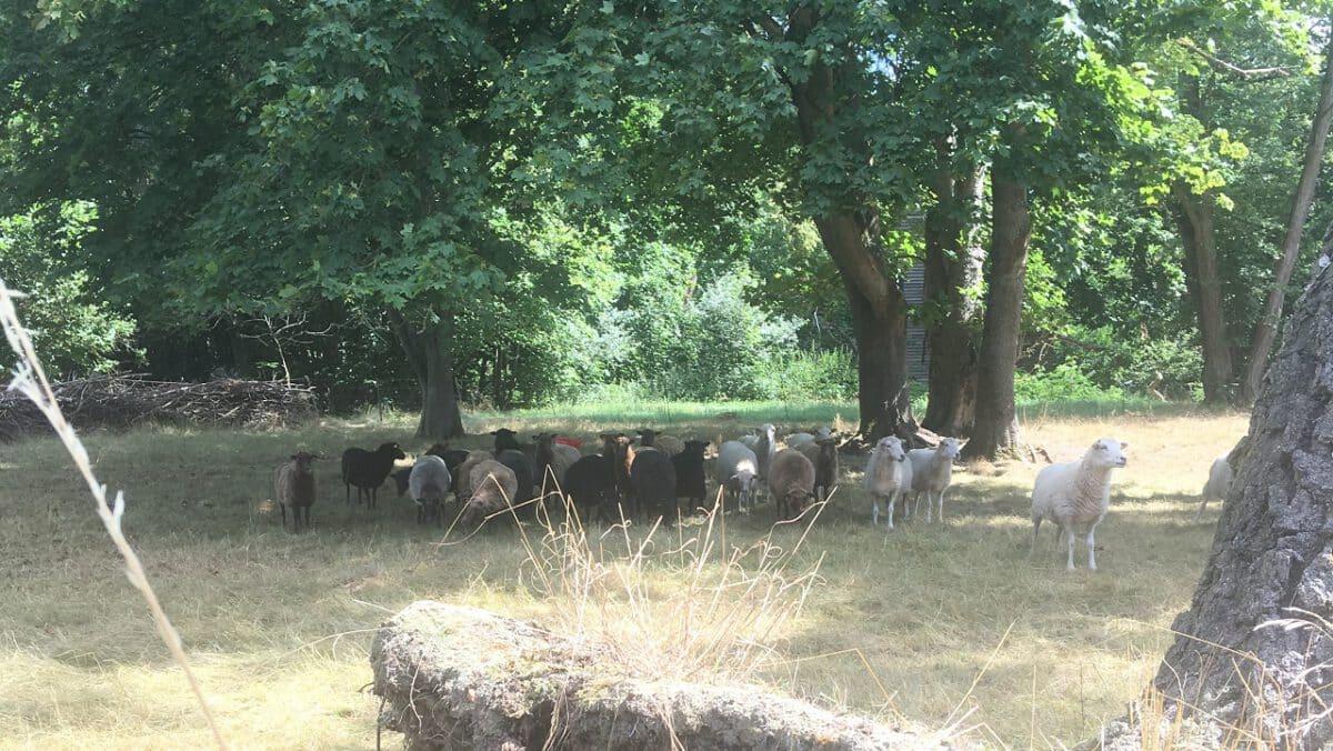 Schafe im Schatten unter Bäumen